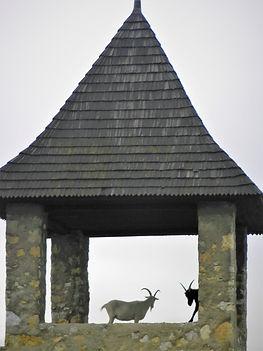 Goats, Trencin castle, slovakia