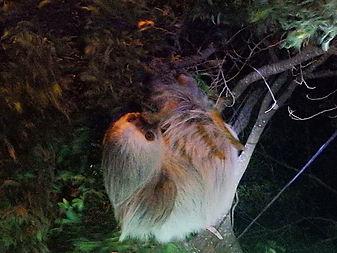 sloth Monteverde costa rica