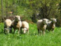 lauterbrunnen, switzerland, alps, sheep