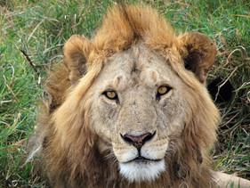 Finally, a male lion
