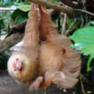 sloth  jaguar rescue centre puerto viejo de talamanca costa rica