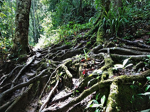kokoda trail, track, papua new guinea, hike, trek, jungle, mountain, tree roots