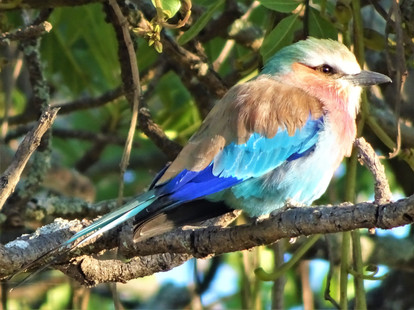 Lilac-crested roller
