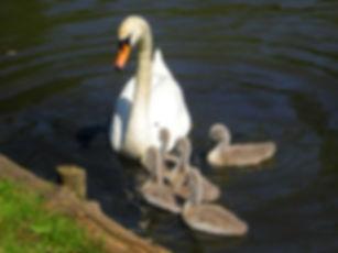 odense, denmark, swans