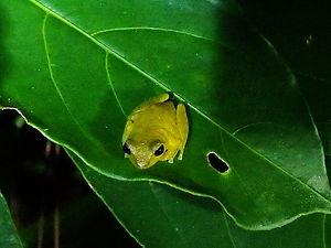 pygmy frog Monteverde costa rica