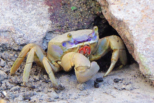 crab belize city