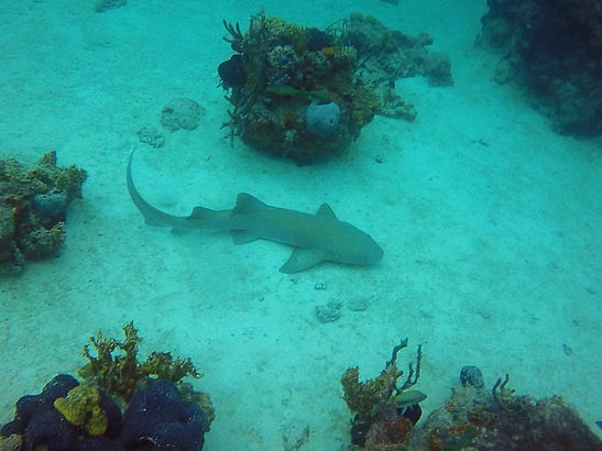 shark, diving, nassau, bahamas