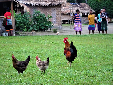 kokoda trail, track, papua new guinea, hike, trek, mountain, jungle, rooster