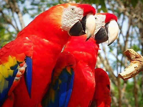scarlett macaw copan honduras