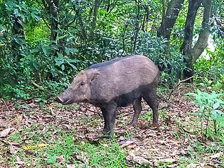hong kong, trail, mountain, hiking, view, pig