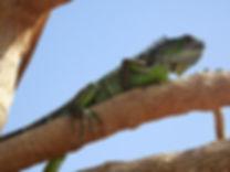 lizard, george town, cayman island
