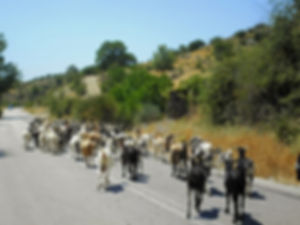 goats, olympia, greece, road