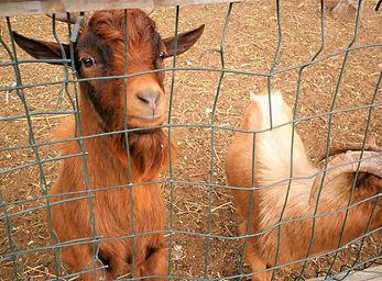 Caravan park, petting zoo, goats, milan, italy