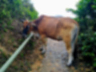 hong kong, trail, view, mountain, maclehose, hiking, cow