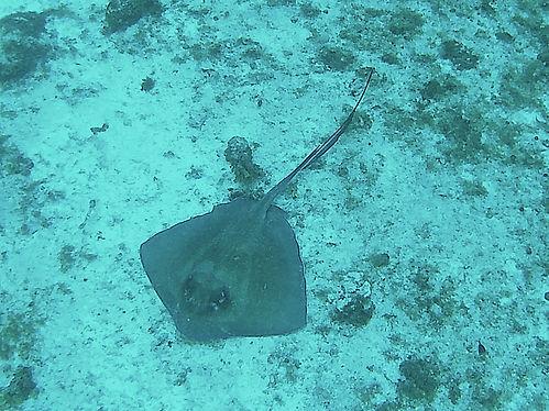 diving little corn island nicaragua stingray
