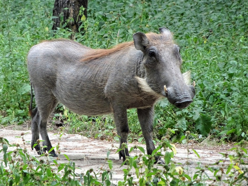 My first animal sighting - a warthog!