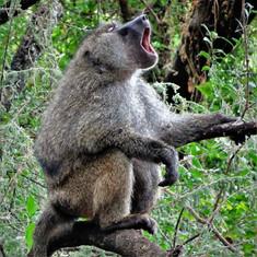 Yawning or howling?
