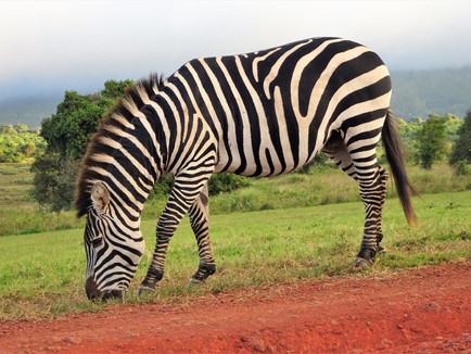 Zebra at the campsite