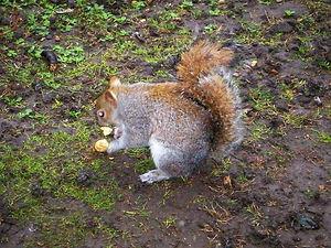 squirrel, england
