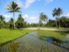 Ubud Bali Indonesia rice field