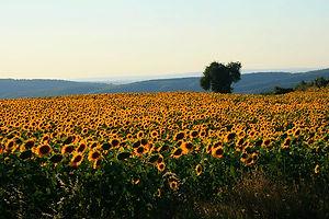 sunflowers, turkey, gallipoli, dardanelles