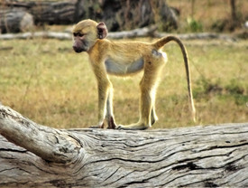 Baby yellow baboon