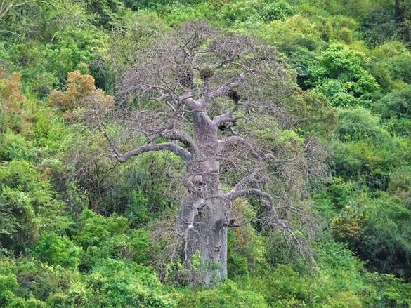 The prominent baobab
