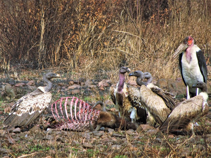 Vultures and stork, tucking into a wildebeest