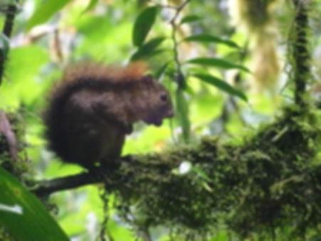 squirrel Monteverde cloud forest costa rica
