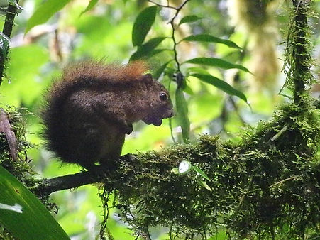 squirrel Monteverde cloud forest costa rica