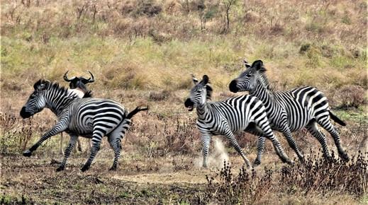 Zebras in action
