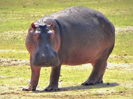 A rare hippo out of the water