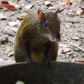 agouti belize zoo