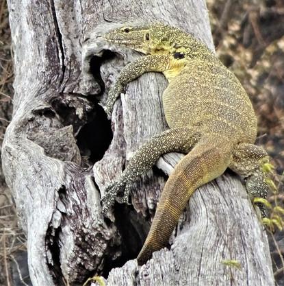 The calm monitor lizard