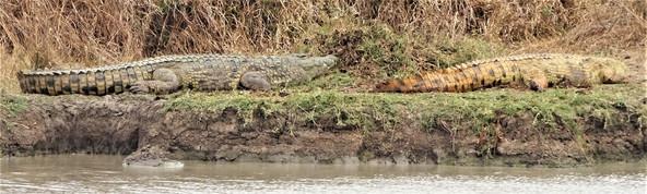 Multi-coloured crocodiles