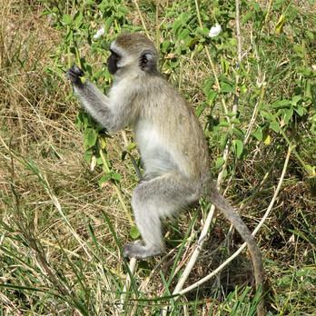 Black vervet monkey