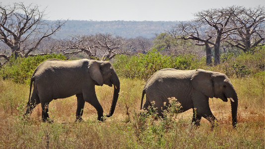 Elephants finally out in the open