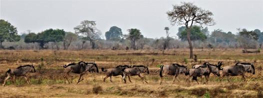 The wildebeest gang