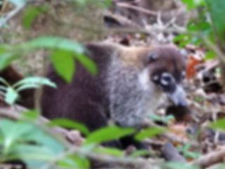 coati Children's Eternal Rainforest Monteverde costa rica