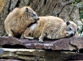 Rock hyraxes