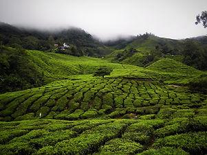 Boh Tea plantation (25)_edited.jpg