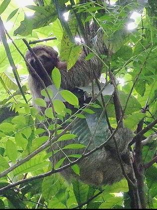 sloth manuel antonio costa rica