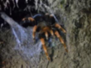 tarantula Monteverde costa rica