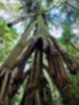 kokoda, track, trail, papua new guinea, hike, trek, mountain, jungle, pandanus tree