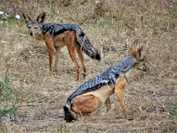 The equally ugly jackals