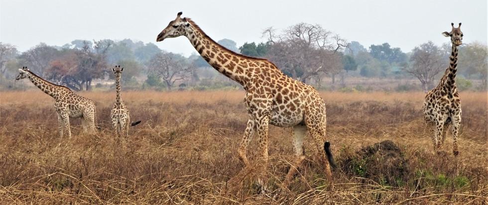 So many giraffes