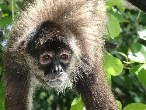 spider monkey belize orange walk