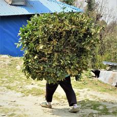 The not-uncommon walking bush