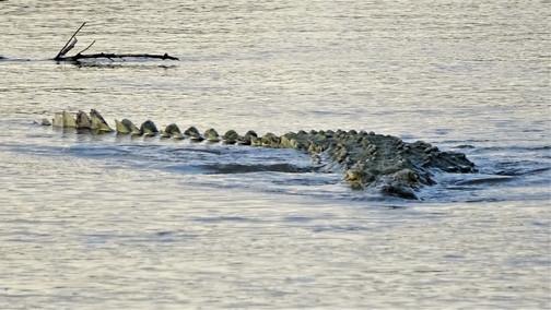 Can crocodiles jump into boats?