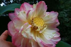 Front Yard Lotus